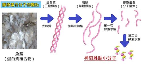 胶原蛋白分子的变化